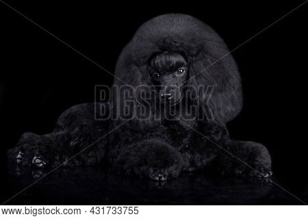 Black toy poodle puppy sits on a white background