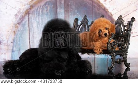 red-haired little toy poodle and black poodle on a blue background