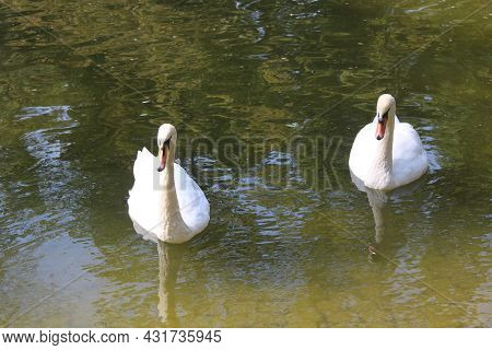 Two White Swans On Swan Lake As A Symbol Of Swan Love And Swan Fidelity