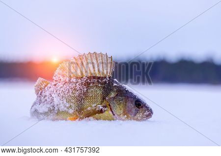Winter Ice Fishing, Perch Fishermans Catch On Ice. Copy Space