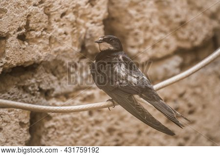 Swallow Bird Sits On A Wire Against The Background Of A Brick Shell, Animals And Wildlife, Close-up.