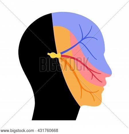 Trigeminal Nerve Diagram. Ganglion, Ophthalmic, Mandibular And Maxillary Nerves. Sensations To The F