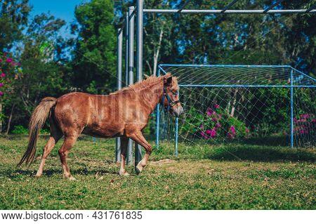 J Side Photo Light Brown Horse Pony Play Run Vigorously Briskly On Football Field Grass. Summer Tree