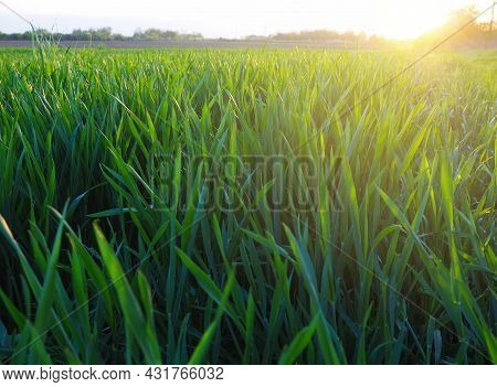 Grass Or Wheat In Sunlight. A Field With Green Grass At The Rising Or Setting Of The Golden Yellow S