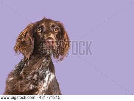 Head shot of long haired munsterlander dog looking away in front of purple background