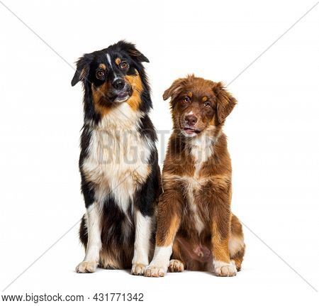 Two Australian shepherd dogs sitting together side by side and looking at camera, isolated on white