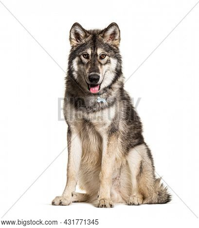Sitting Northern Inuit Dog panting, looks like a wolf, isolated on white