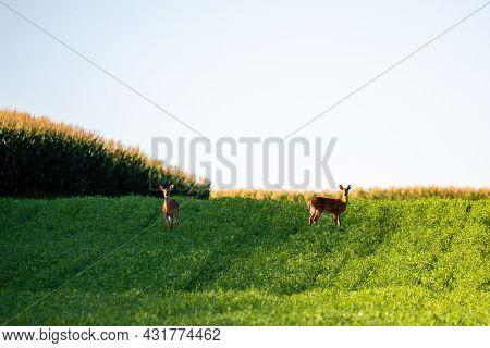 Fawn White-talled Deer (odocoileus Virginianus) In A Hayfield, Horizontal