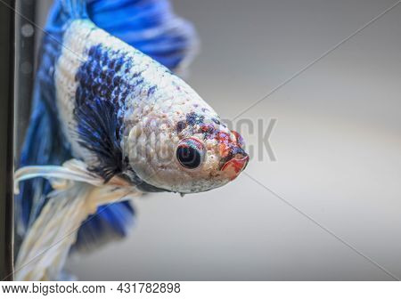 Closeup Of Betta Fish Face, Betta Mouth And Air Bubbles In The Water, Siamese Fighting Fish,betta Sp