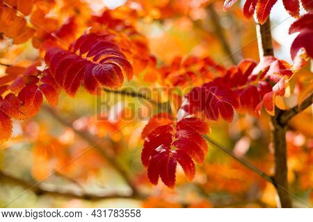 Autumn Colorful Leaves On The Sun. Autumn Nature Fall Background. Fall Season Concept