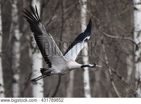 Common Crane (eurasian Crane) Flying In The Leafless Forest With Birch Trees Visible On The Backgrou