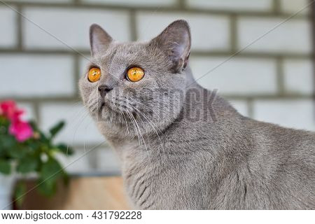 Gray Short-haired British Cat With Orange Eyes On A Background Of Gray Brick Wall. Closeup