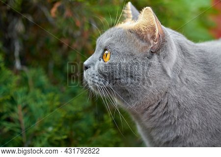Portrait Of Gray Short-haired British Cat With Orange Eyes On A Background Of Green Foliage. Closeup