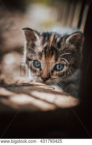 Cute Cuckoo From A Black And Grey Newborn Cat Who Is Exploring A New World And Trying To See Everyth