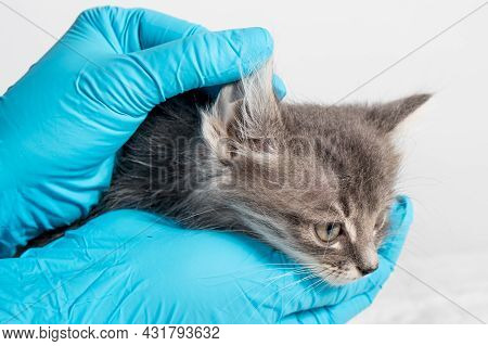 The Veterinarian Examines The Kittens Ear. Ear Parasites, Otitis, Diseases In Animals And Cats.
