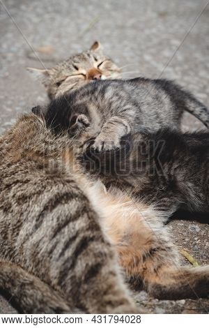 Newborn Cats Try To Satisfy Their Thirst And Drink Milk From Their Mother. Kittens Jockeying For Pos