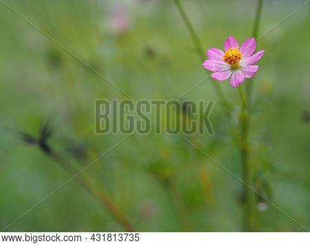 Pink Flower Cosmos Caudatus, Wild Cosmos, Ulam Raja, King Of Salad Fresh Blooming In Garden Green Le