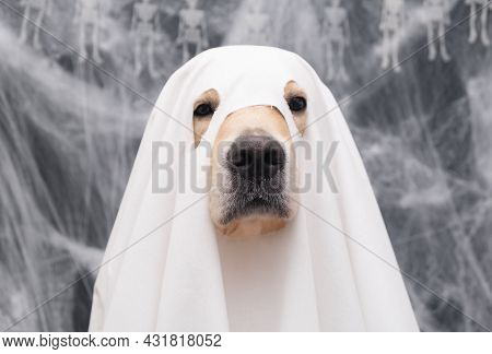 Cute Halloween Ghost Dog. Golden Retriever In A Ghost Costume Sits On A Black Background With Cobweb
