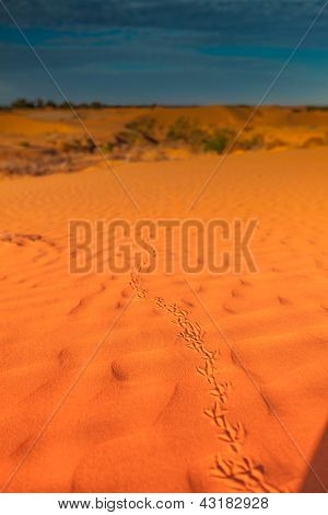 Animal tracks in red sand dune