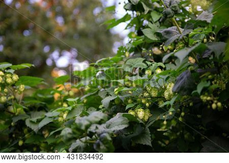 Hop plant. A medicinal plant, a symbol of fertility, well-being and good luck. Used in brewing. Depressant