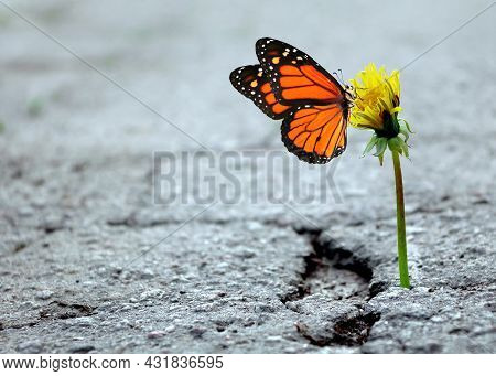 The Triumph Of Life. Dandelion In The Crack Of Asphalt. Colorful Monarch Butterfly On Dandelion Flow