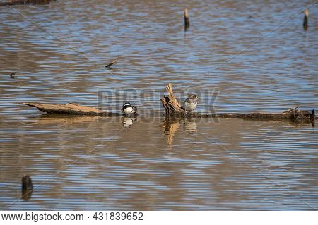 A Pair Of Hooded Mergansers Perched On A Log In The Shallow Water In The Wetlands Resting And Relaxi