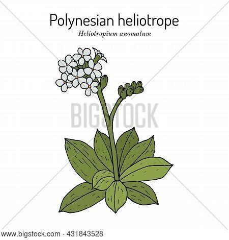 Polynesian Or Pacific Heliotrope, Or Hinahina Heliotropium Anomalum , Hawaii Island Of Kahoolawe Off