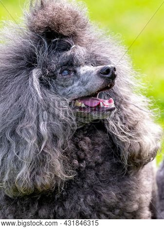 Gray Fluffy Poodle With Open Mouth And Friendly Look, Portrait Of A Funny Dog