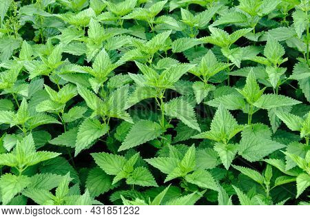 Nettle Background. Green Fresh Lush Foliage Of Urtica Dioica. Texture