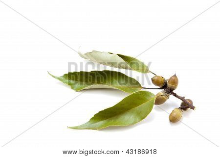 Acorns And Leaves