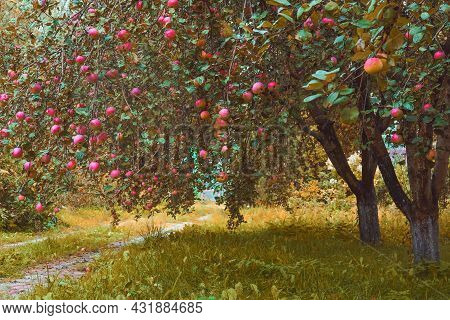 Apple Trees Garden In Autumn. The Heavy Branches With Falling Organic Ripe Red Delicious Apples Are