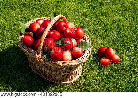 Basket Full Of Ripe Red Apples On Green Grass, Harvesting. Scattered Apples And Fresh Farm Organic F