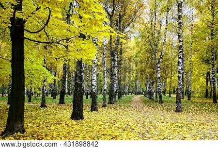 Maple Tree With Golden Autumn Foliage On The Background Of A Birch Alley In The Park