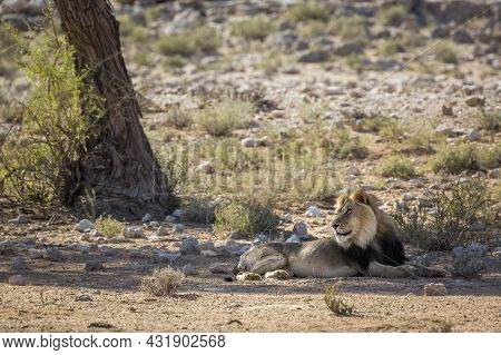 African Lion Male Black Mane Lyng Down Under Tree Shadow In Kgalagadi Transfrontier Park, South Afri