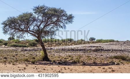 African Lion Male And Three Lion Lying Down In Their Habitat In Kgalagadi Transfrontier Park, South