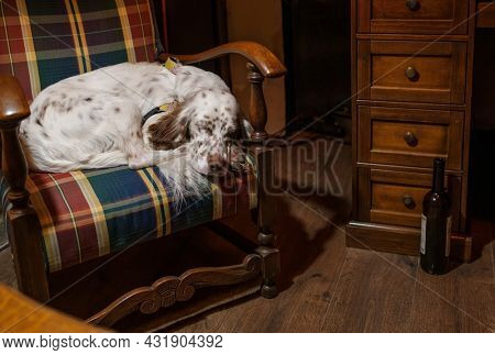 Tranquil purebred English Setter dog sleeping peacefully in old fashioned wooden armchair with checkered upholstery in cozy room with retro style interior and wine bottle