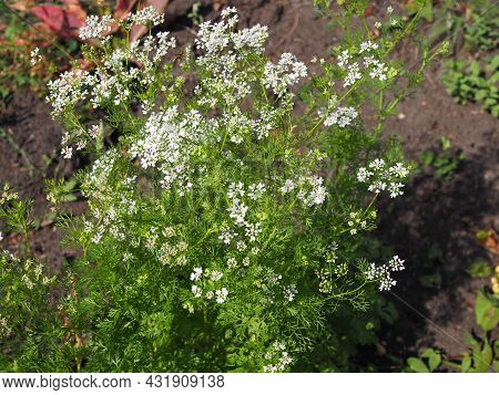 Close Up Of The Coriandrum Flowers.white Flowers Of Coriander In The Vegetable Farm. Cilantro Small