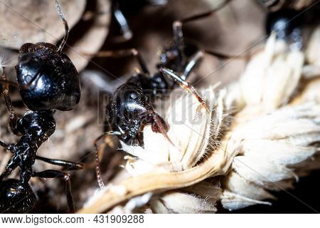 Major Of Messor Capitatus Remove Seeds From A Plant In Order To Make Ant Bread