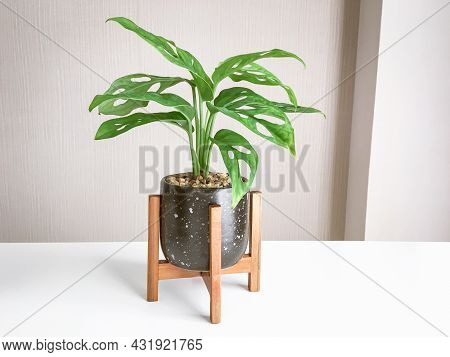 Monstera Obliqua Or Monstera Adansonii In Flower Black And White Pattern Pot With Wooden Stand Home