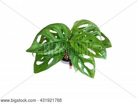 Top View Monstera Obliqua Or Monstera Adansonii In Flower Black And White Pattern Pot With Wooden St
