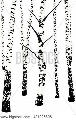 Birch Trees No Leaves