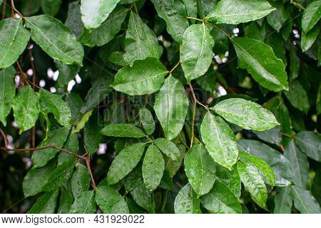 Botanical Collection, Cinnamomum, Green Tropical Indonesian Cinnamon Tree, Source Of Aromatic Cinnam