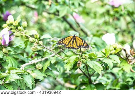 Butterfly On Flower: A Monarch Butterfly Sits With Full Wing Span In A Hibiscus Flower Bush On A Sum
