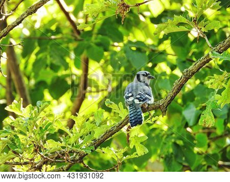 Blue Jay On Branch: A Blue Jay Bird Perched On A Branch Looks Over Its Shoulder Among The Green Leav