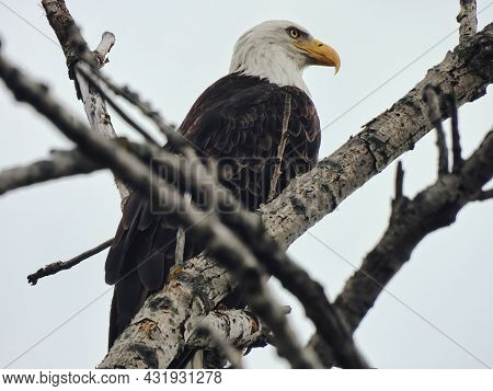 Bald Eagle On Branch: An American Bald Eagle Bird Of Prey Raptor In A Profile View As It Is Perched