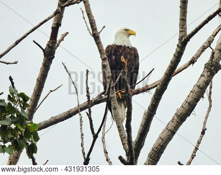Bald Eagle In Tree: A Majestic Bald Eagle In A Bare, Naked Tree On A Cloudy Day Looking To The Side