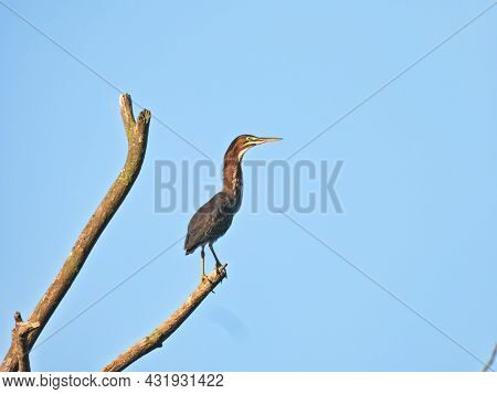 Green Heron On Branch: A Green Heron Bird Stretches Its Neck While Balancing On A Dead Branch Of A T