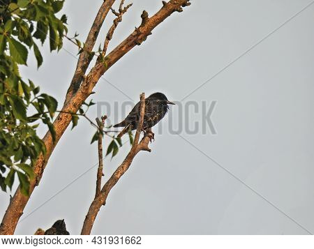 Starling On A Branch: An European Starling Bird Perched On An Isolated Tree Branch On A Cloudy Day