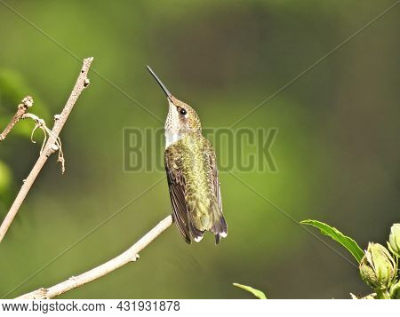 Hummingbird On A Branch: A Ruby-throated Hummingbird Stretches Here Neck While Perched On A Tree Bra
