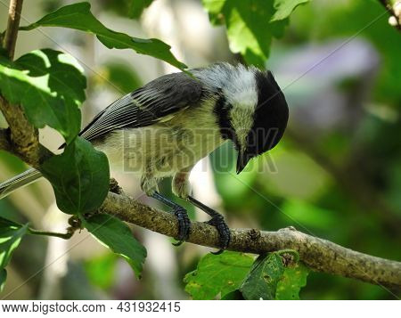 Chickadee Bird Perched On Branch: A Black-capped Chickadee Bird Sits On A Branch And Looks Down